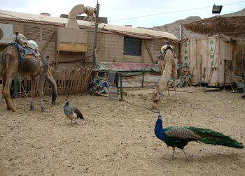 camel's ranch eilat pavone.png